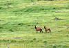 Cow elk and young, Wichita Mts OK (4)