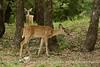 white-tail deer, OK (26)