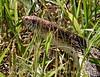Water snake, Hackberry Flat OK (4)
