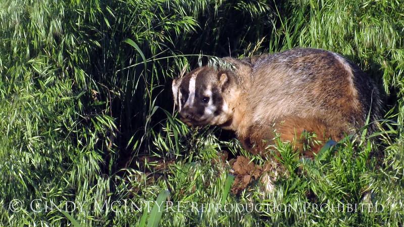 Am Badger 2 copy