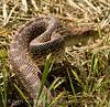 Water snake, Hackberry Flat OK (8)
