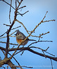 Tufted titmouse, Wichita Mts NWR OK (5)