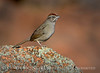 Rufous-crowned sparrow, Wichita Mts WR OK (1)