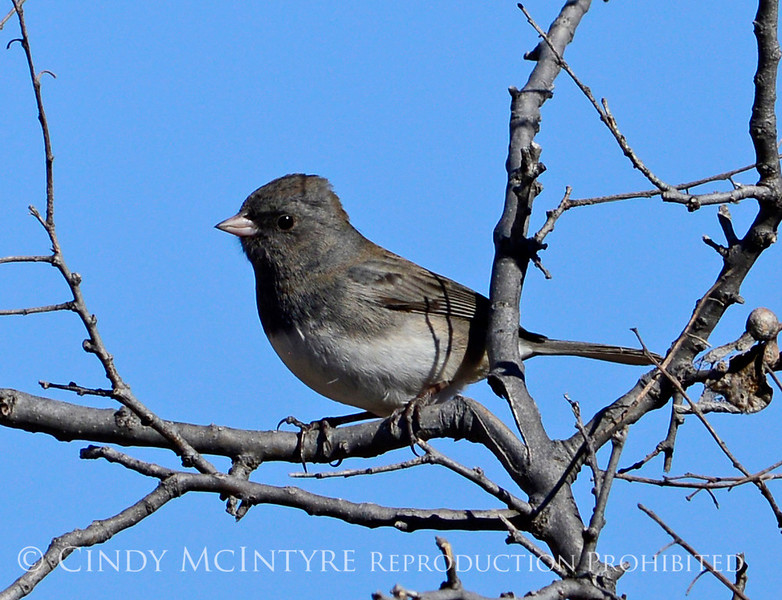 Slate-colored junco, Wichita Mts OK (3)