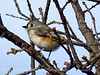Tufted titmouse, Wichita Mts NWR OK (6)