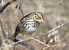 Savannah Sparrow, OK (1)