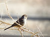White crowned sparrow juve, OK (3)