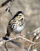 Savannah Sparrow, OK (2)