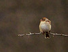 Field sparrow, OK