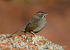 Rufous-crowned sparrow, Wichita Mts WR OK (2)