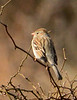 Field Sparrow, OK (1)