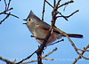 Tufted titmouse, Wichita Mts NWR OK (2)