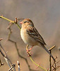 Field Sparrow, OK (2)