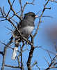 Slate-colored junco, Wichita Mts OK (2)