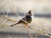White crowned sparrow juve, OK (2)