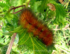Wooly bear caterpillar, OK