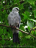 Mississippi Kite, Lawton OK (4)