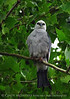 Mississippi Kite, Lawton OK (3)