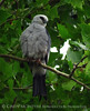 Mississippi Kite, Lawton OK (2)
