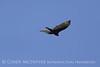 Turkey Vulture, Ft Sill (4)
