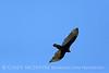 Turkey Vulture, Ft Sill (1)