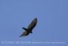 Turkey Vulture, Ft Sill (2)