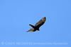 Turkey Vulture, Ft Sill (3)