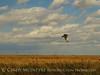 Redtail Hawk, Hackberry Flat OK (3)