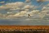 Redtail Hawk, Hackberry Flat OK (2)
