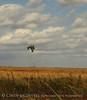 Redtail Hawk, Hackberry Flat OK (1)