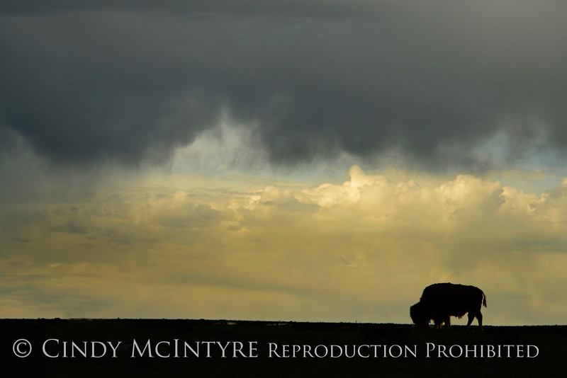 Bison-Storm Clouds collage copy