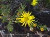 Lacy Tansyaster, Haplopappus spinulosus (Pursh) DC, Wichita Mts OK (5)