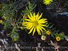 Lacy Tansyaster, Haplopappus spinulosus (Pursh) DC, Wichita Mts OK (4)