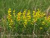 Yellow Wild Indigo Baptisia sphaerocarpa (4)