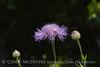 Am Basketflower, Centaurea americana, Wichita Mts OK (4)