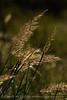 Indian grass, Wichita Mts OK
