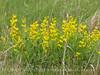 Yellow Wild Indigo Baptisia sphaerocarpa (5)