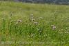 Am Basketflower, Centaurea americana, Wichita Mts OK (15)