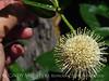 Ailanthus webworm moth on buttonbush, Wichita Mts OK (1)