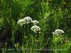 Meadow Garlic, Wichita Mts OK (7)