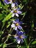 Blue-eyed grass (2)