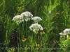 Meadow Garlic, Wichita Mts OK (5)