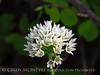 Wild garlic, Allium canadense, Wichita Mts OK (1)