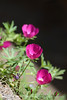 Winecup, purple poppy mallow Callirhoe involucrata OK