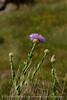 Am Basketflower, Centaurea americana, Wichita Mts OK (6)