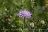 Am Basketflower, Centaurea americana, Wichita Mts OK (11)