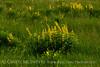 Yellow Wild Indigo Baptisia sphaerocarpa (3)
