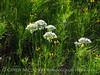 Meadow Garlic, Wichita Mts OK (8)