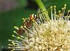 Ailanthus webworm moth on buttonbush, Wichita Mts OK (7)