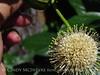 Ailanthus webworm moth on buttonbush, Wichita Mts OK (5)